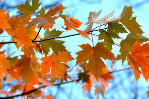 Maple Leaves Branches Wallpaper