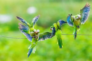Monk Parrots Wallpaper