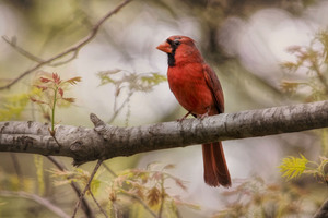 Northern Cardinal Wallpaper