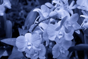 Orchid Flowers Wallpaper