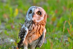 Owl Bird Predator Wallpaper
