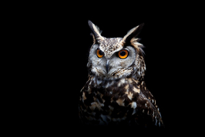 Owl Dark Background