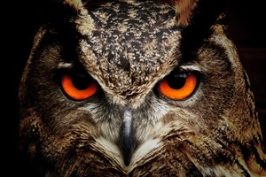 Owl Eagle Eyes Wallpaper