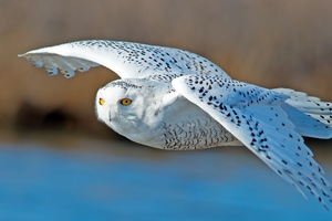 Owl Predator Wallpaper