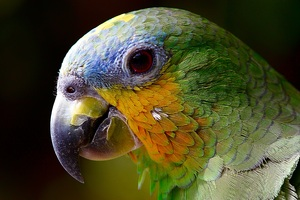 Parrot Colorful 4k