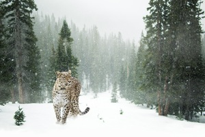 Persian Leopard In Snow 5k Wallpaper