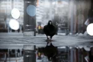 Pigeon Bird Outdoor Wallpaper