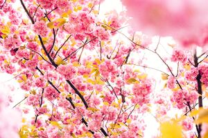 Pink Blossoming Tree 8k