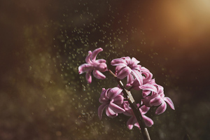 Pink Color Hyacinth Flowers 5k Wallpaper