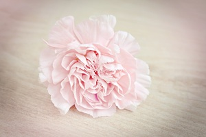 Pink Flower Carnation Blossom