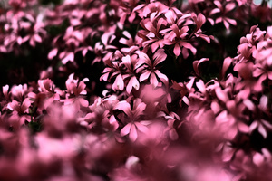 Pink Flowers Ultra Hd Blur 4k Wallpaper