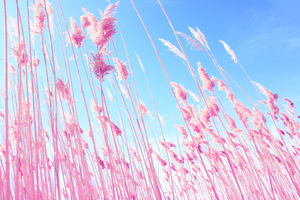 Pink Grass On Fields
