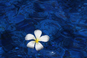 Plumeria Flower Water 5k Wallpaper