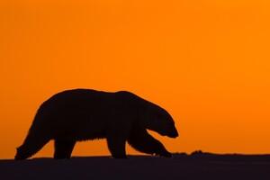 Polar Bear 2 Wallpaper