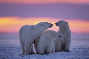 Polar Bear Family Wallpaper