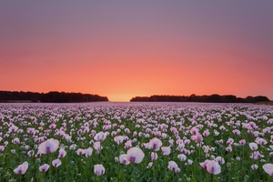 Poppy Flowers Field Wallpaper