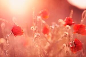 Poppy Flowers Wallpaper