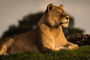 Predator Lion 4k