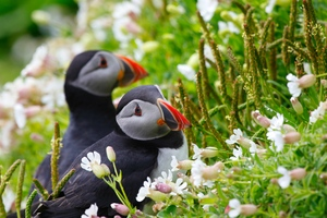 Puffin Couple Wallpaper