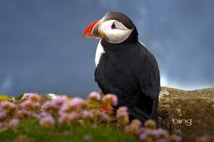 Puffin Seabird