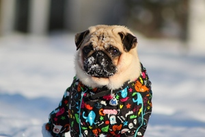 Pug In Snow Wallpaper