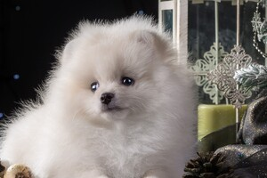 Puppy White Cute Wallpaper