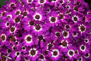 Purple Cineraria Flowers