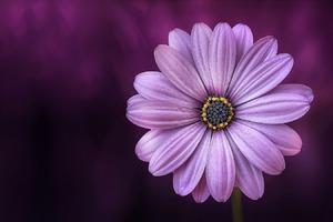 Purple Daisy Flower Wallpaper
