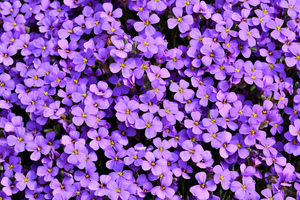 Purple Flowers Background 5k