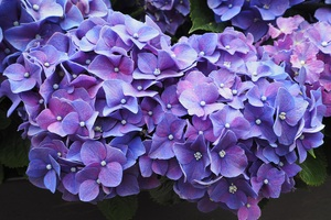 Purple Flowers Violet Blossom