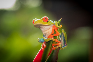 Red Eye Tree Frog 4k