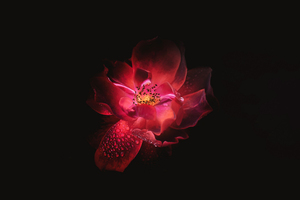 Red Flower Black Background 4k Wallpaper