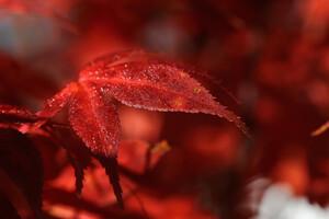 Red Leaf Macro 5k