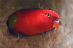 Red Parrot Portrait Wallpaper