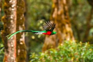 Resplendent Quetzal 4k