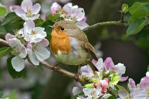Robins Bird Wallpaper