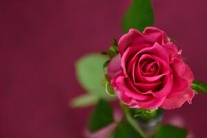Rose 4k