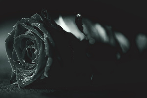 Rose Monochrome Flora Dew Waterdrops