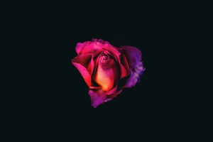 Rose Oled Dark 8k Wallpaper