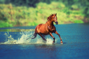 Running Horse In Water