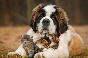 Saint Bernad Playing With Kittens Wallpaper