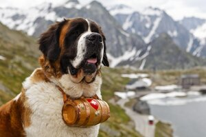 Saint Bernad Wallpaper