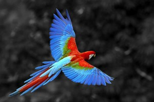 Scarlet Macaw Bird Wallpaper