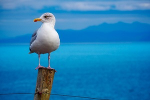 Seagull Birds Hd