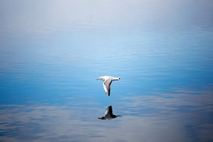 Seagull Flying Over Body Of Water Wallpaper