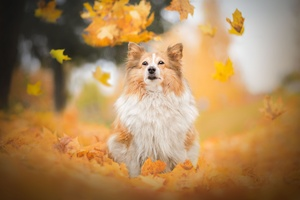 Shetland Sheepdog Dog Breed Wallpaper