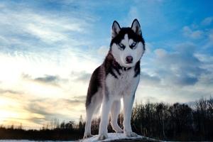 Siberan Husky 4