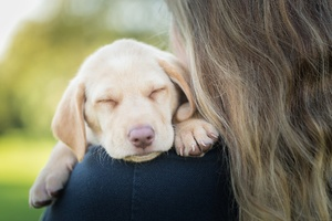 Sleeping Labrador Retriever In Girls Arms