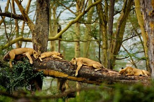 Sleeping Lions Wallpaper