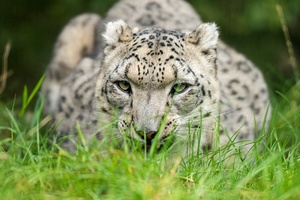 Snow Leopard Glance 4k Wallpaper